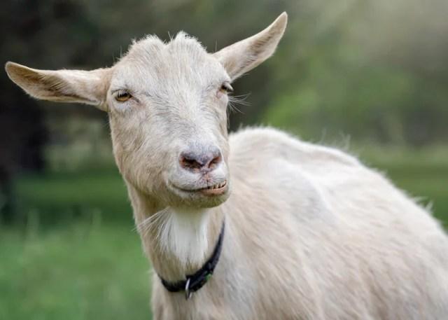 Understanding goat bloating