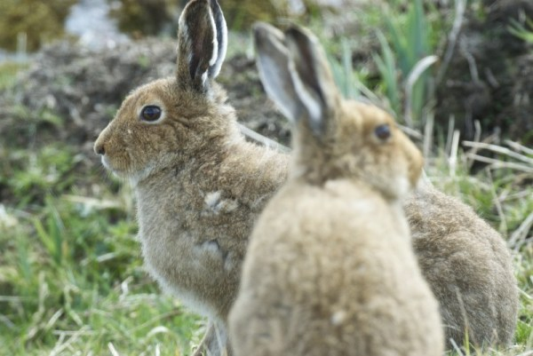 Irish hares on Mull