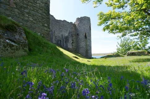 Bluebells at Castle Sween