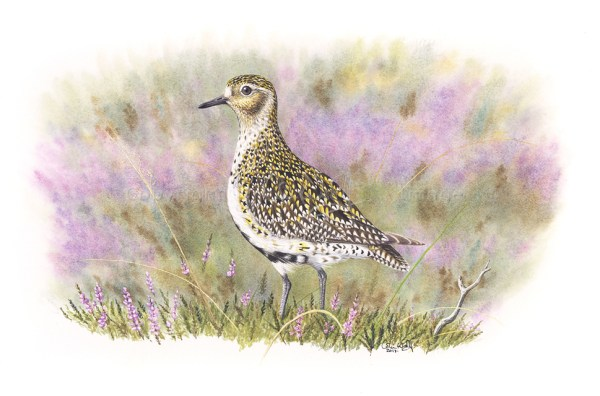 Golden Plover © Colin Woolf