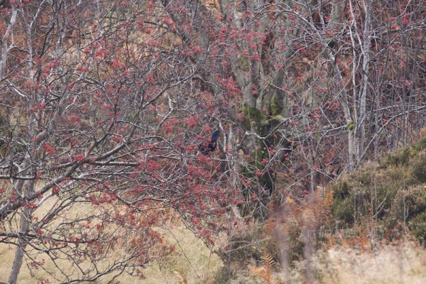Mountain ash with black grouse
