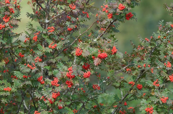 Mountain ash berries (1)