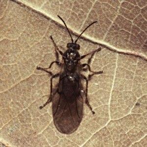 Cynips quercusfolii; photo via Wikimedia