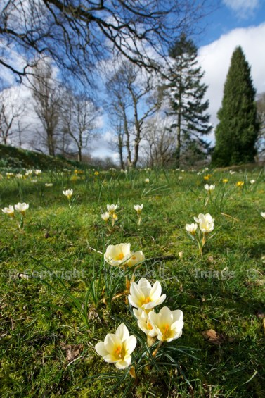 Falkland - crocuses