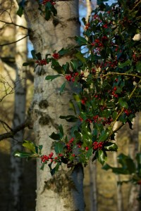 Dunfermline - holly tree