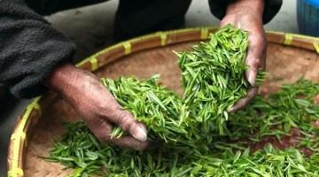 green-tea-heands