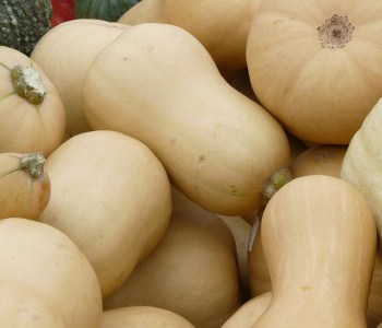 pile of butternut squash