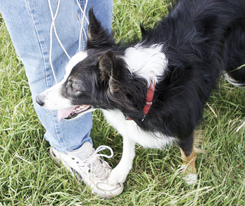 JEFF BURKHEAD Ellen Nieslanik's dog Nell will have plenty of company next week as handlers and their dogs start showing up for the Meeker Classic.