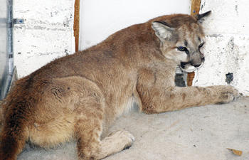 A jab stick was used to sedate the young mountain lion. Once it was captured it was put into a crate for transporting it to a shelter.