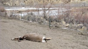 This deer carcass was visible on the shoulder of Highway 64 roughly half way between Meeker and Rangely this past weekend. Bill deVergie, the Colorado Parks and Wildlife manager in Meeker, said the number of vehicle run-ins with area elk and deer is on the rise, and he urged drivers to be extra careful from sunset to sunrise as the animals are increasingly looking for the greener grasses that grow along roadsides.