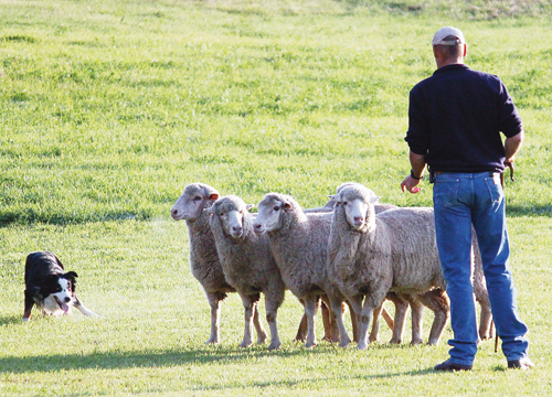 """South African National Champion and 2012 Meeker Sheepdog Classic winner Faansie Baason and Don, from Swellendam, South Africa, separate or """"shed"""" the sheep at last year's Meeker trials."""