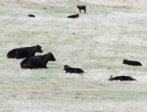 Calving season has moved into full action the past two or three weeks all around Rio Blanco, with a few exceptions. The cows and their calves were fully enjoying the sunny weather on Sunday in this field along Piceance Creek, along County Road 5.