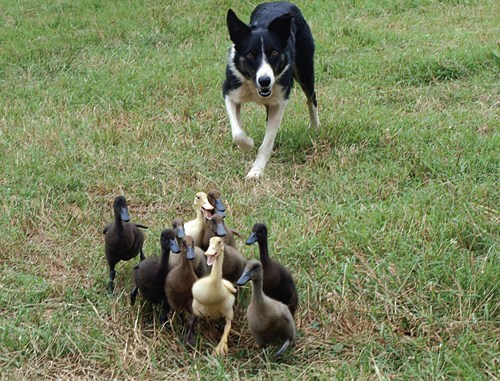"""Long-time Meeker sheepdog handler and competitor Dawn Boyce will orchestrate her """"Ducks in Space"""" production in Meeker this year.  Showing off her border collie talent and instinct, Boyce will entertain the crowd with her dogs all the way from Georgia and their duck-herding skills."""
