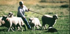 "Dog handler Tom Wilson is seen here working on a ""shed"" wherein he and his dog look to separate some sheep from the herd and move on to the next step in the trial, always advancing toward the end of the designated route."