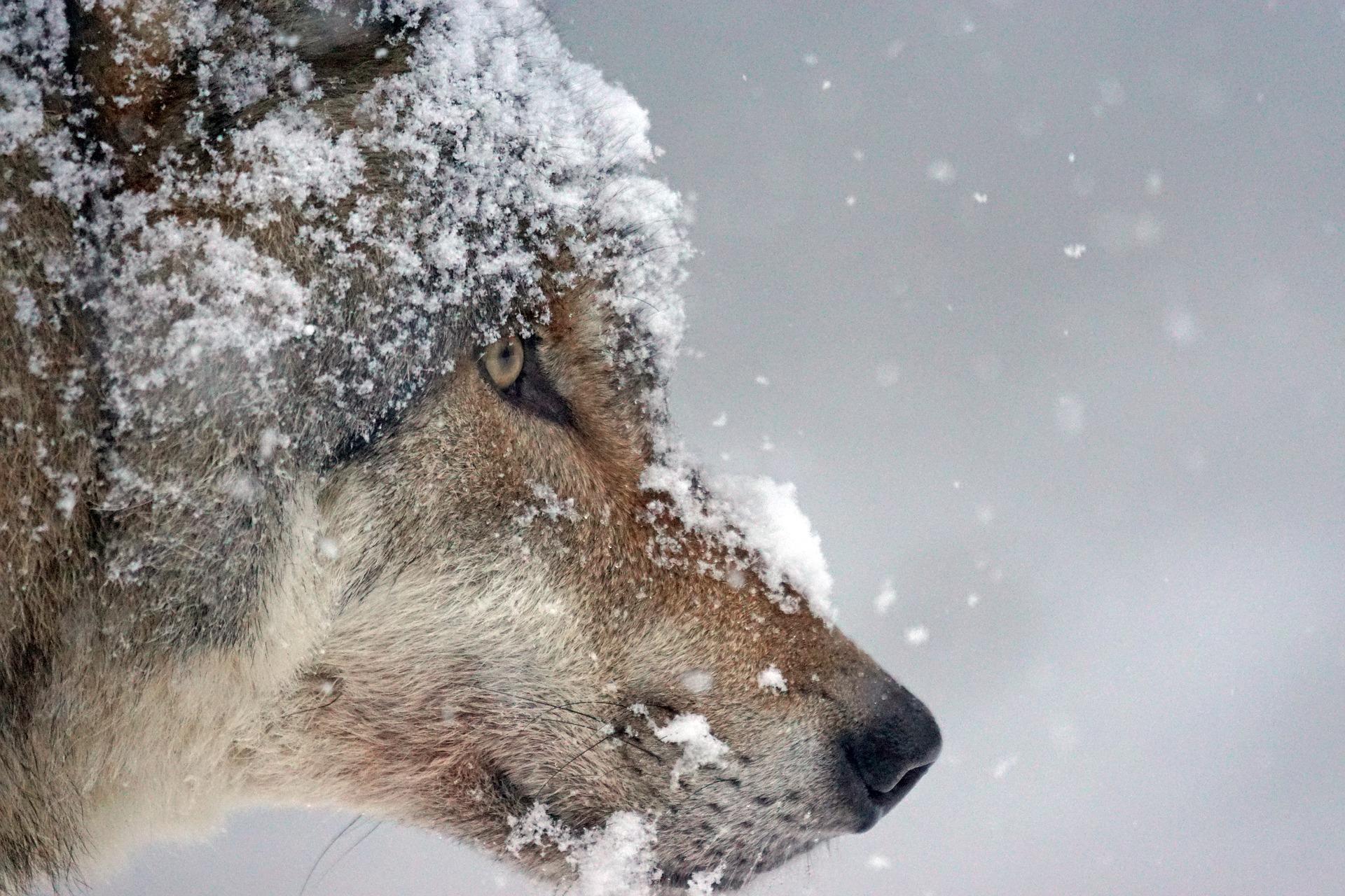 wolf-1975823_1920