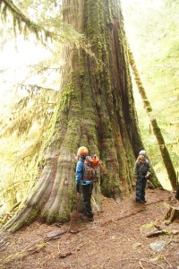 cedar tree old growth baker lake hiking kids nature