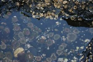 rosario beach, deception pass state park, tide pool, puget sound sea life