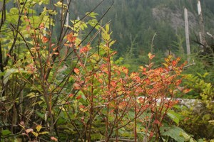 washington native plants, fall colors