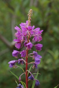 washington native plants, purple flowers