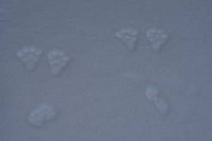 snow wildlife tracks, winter wildlife washington