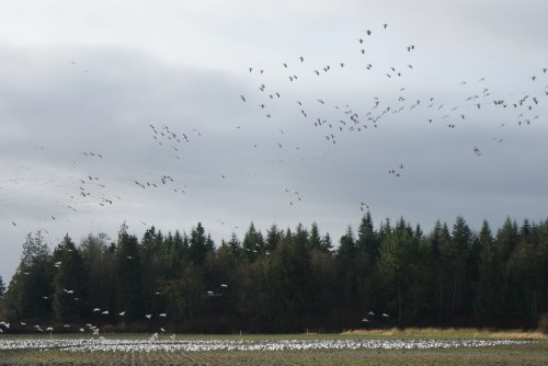 skagit flats, birding with children, raptor studies, winter bird populations