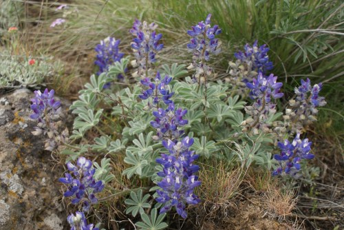 washington native wildflowers, purple plants, desert