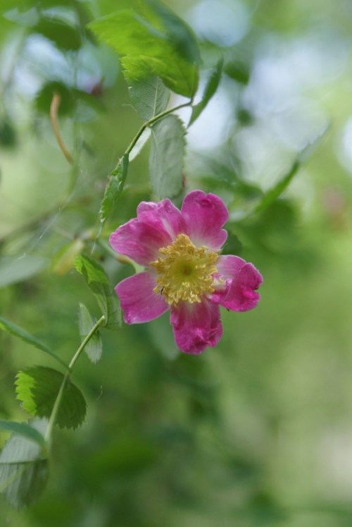 washington native flowers, pink flowers, native plants, paradise valley conservation area