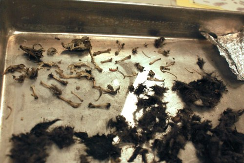 owl pellets, barn owl food