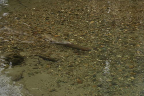 marblemount fish hatchery. salmon watching, skagit fish,
