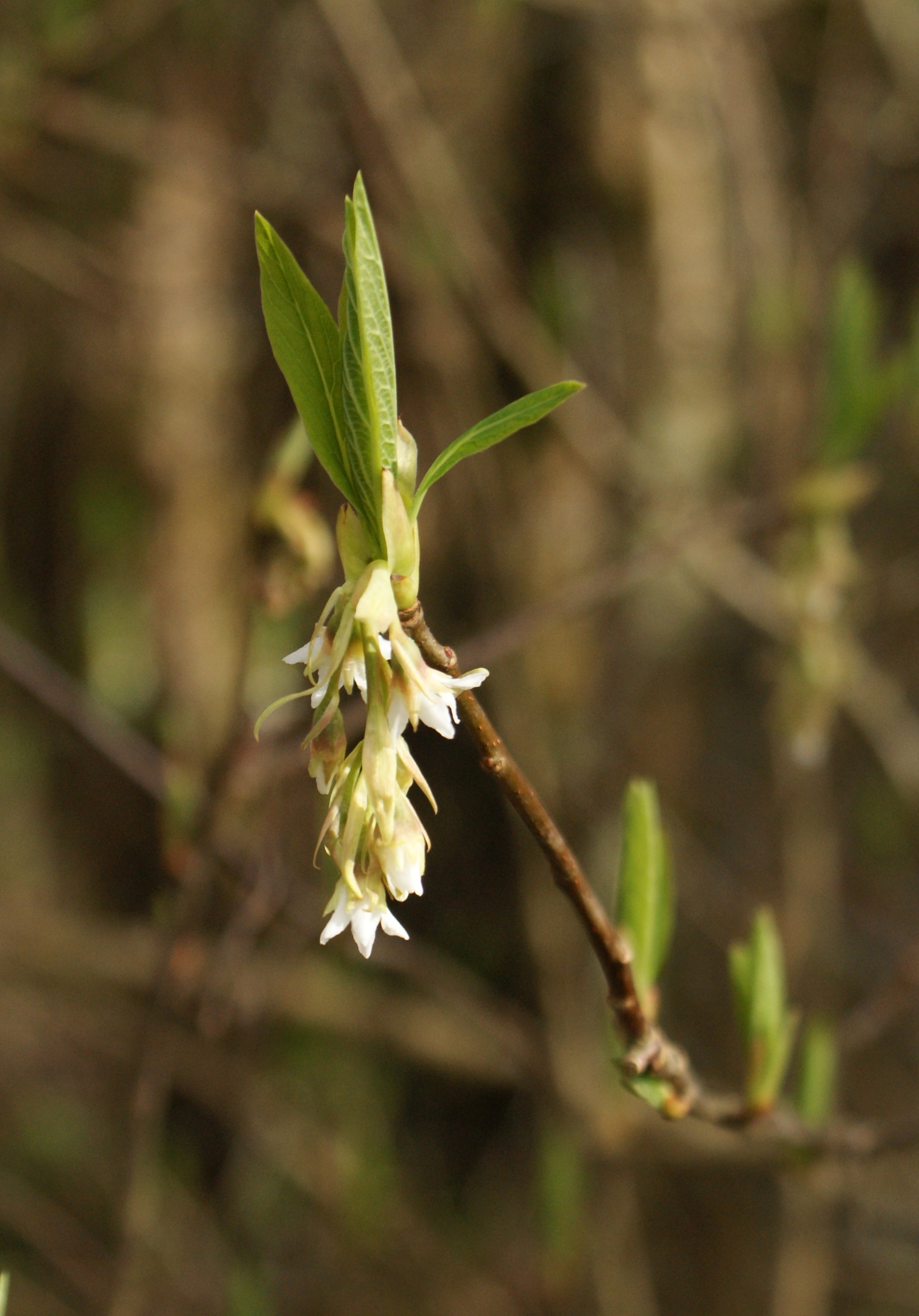 washington native plants, white flowers, early spring, nisqually