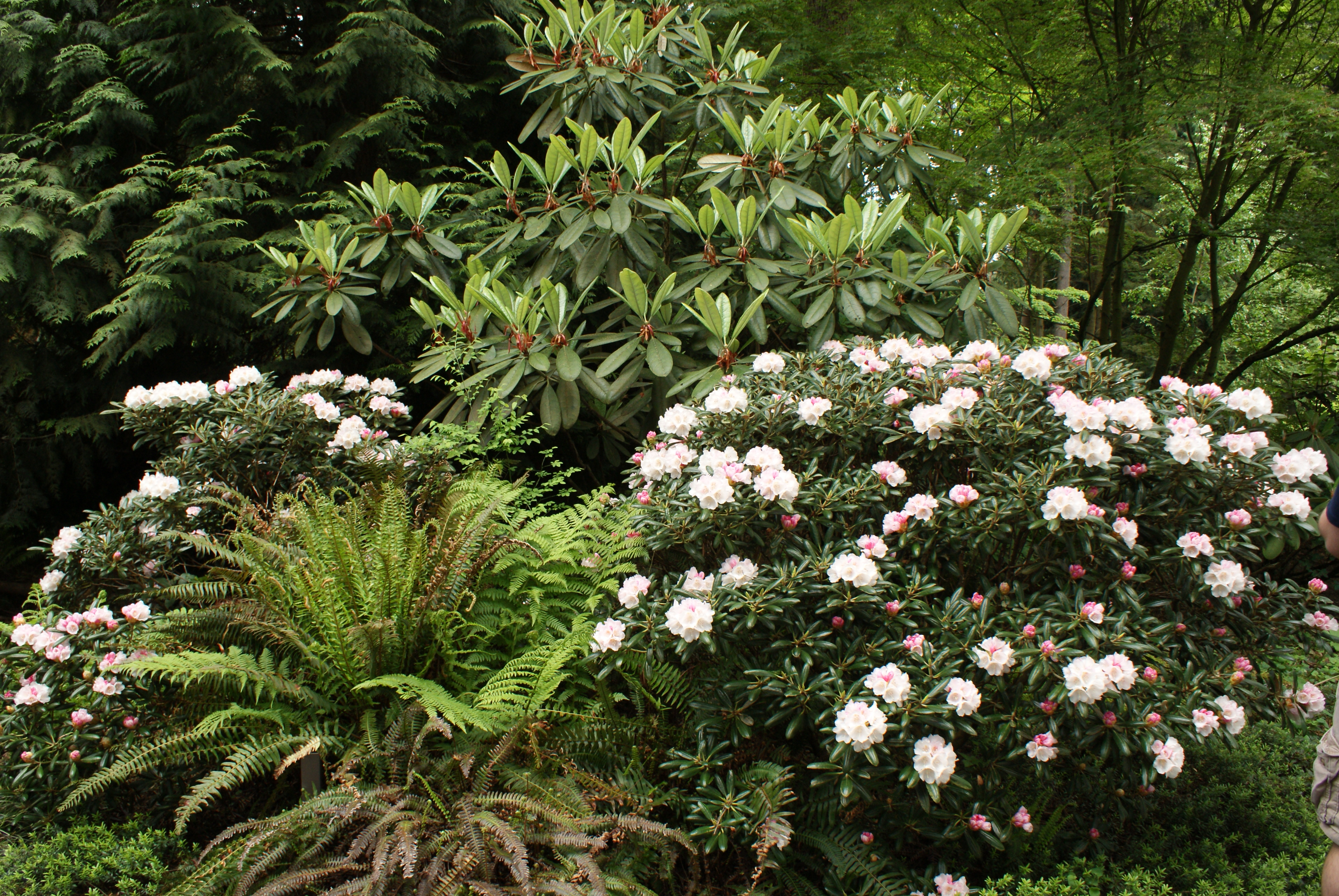 rhododendron species botanical garden, nature walks with kids, puget sound gardens