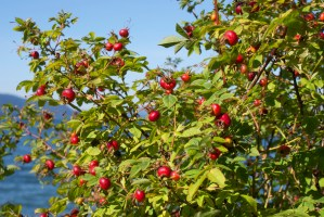 guemes channel trail, hiking anacortes, fall berries