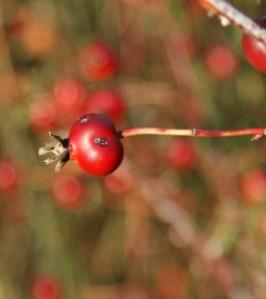 washington native plants, native roses
