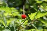 washington native plants, orange berries, beaver lake trail