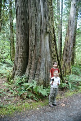 newhalem, trail of the cedars, hikes for kids, old growth, north cascades national park