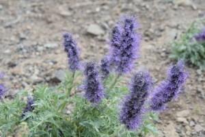 dunraven pass, flowers, yellowstone