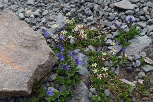 mount rainier national park, wildflowers, alpine