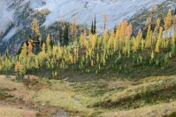 fall hikes for kids, highway 20, larches