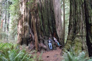redwoods state park, giant sequioa