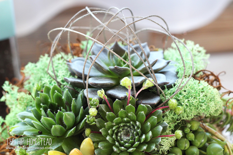 How to plant a beautiful succulent kokedama kit - The Hip Homestead