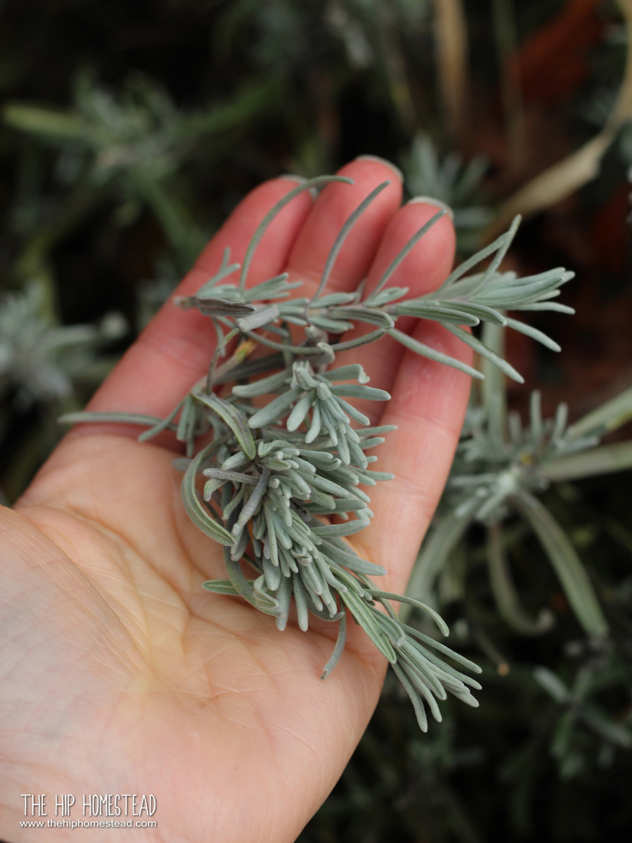 Best Perennial Herbs for a Fall Harvest - The Hip Homestead