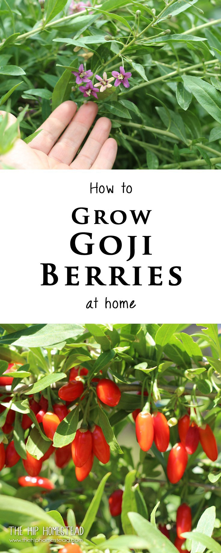 Growing Goji Berries How To Grow Goji Berry Plants At Home The
