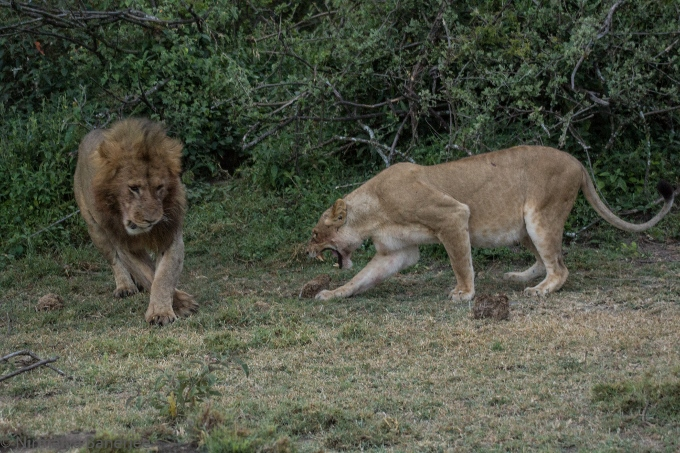 Image of Lions India vs Nigeria 99-1