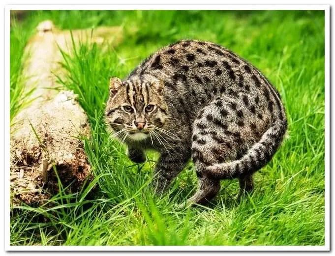 পশ্চিমবঙ্গের জাতীয় পশু fishing cat