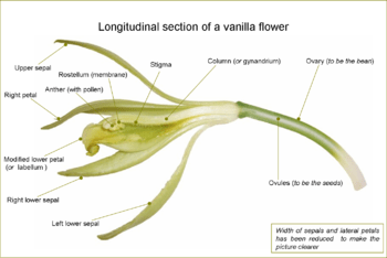 Anatomy of the Vanilla Flower