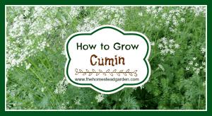 How to Grow Cumin
