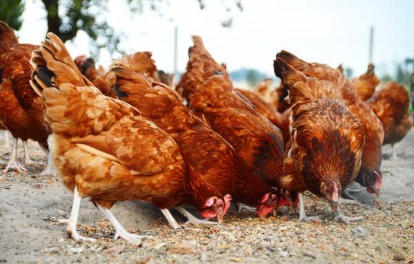 'Restrict birds into Ondo to checkmate bird flu'