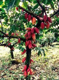 Ondo distributes cocoa seedlings