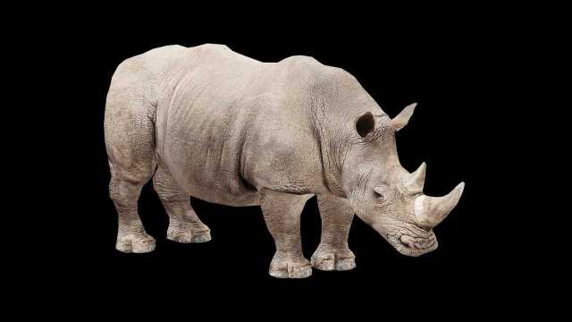 Only two Northern White Rhinos left in the world