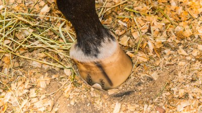 Striped hooves
